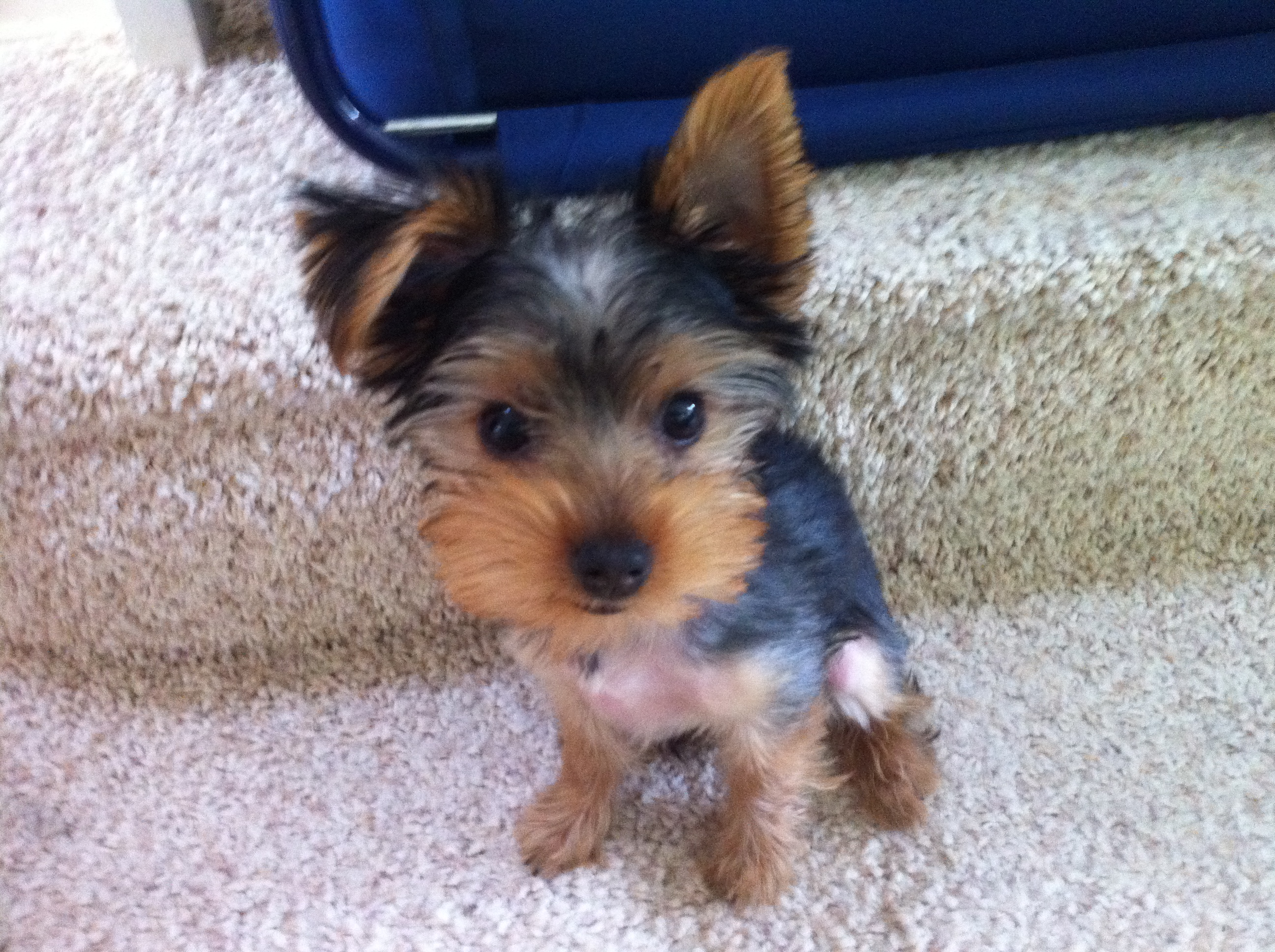 Home Behavioural Visit With Molly The Yorkshire Terrier Puppy
