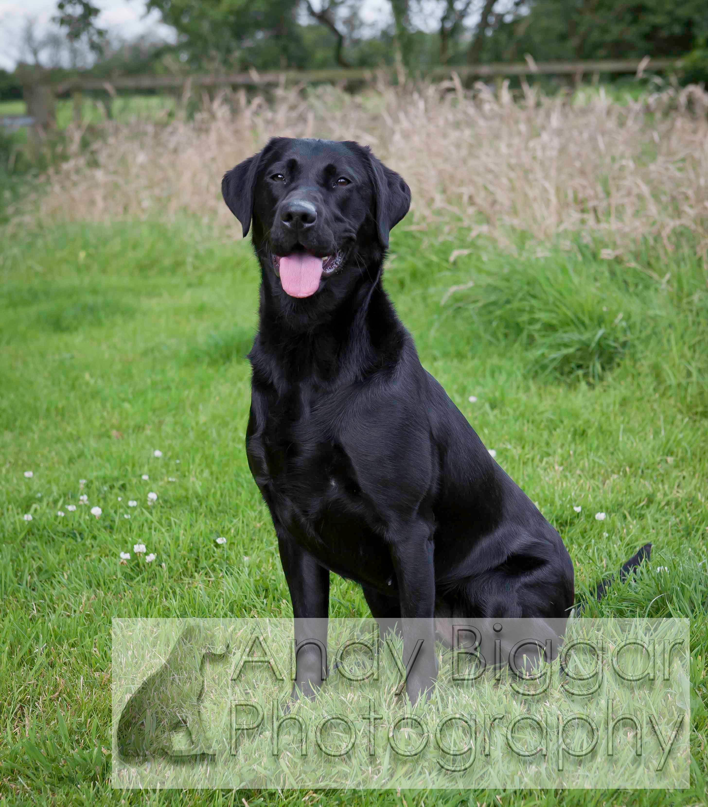 Labrador Retriever Gun Dog Training