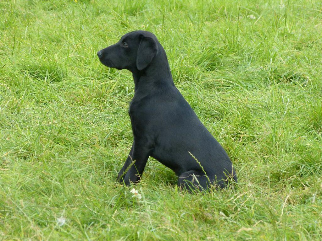 Black Labrador Gundog Labrador Gundog Training