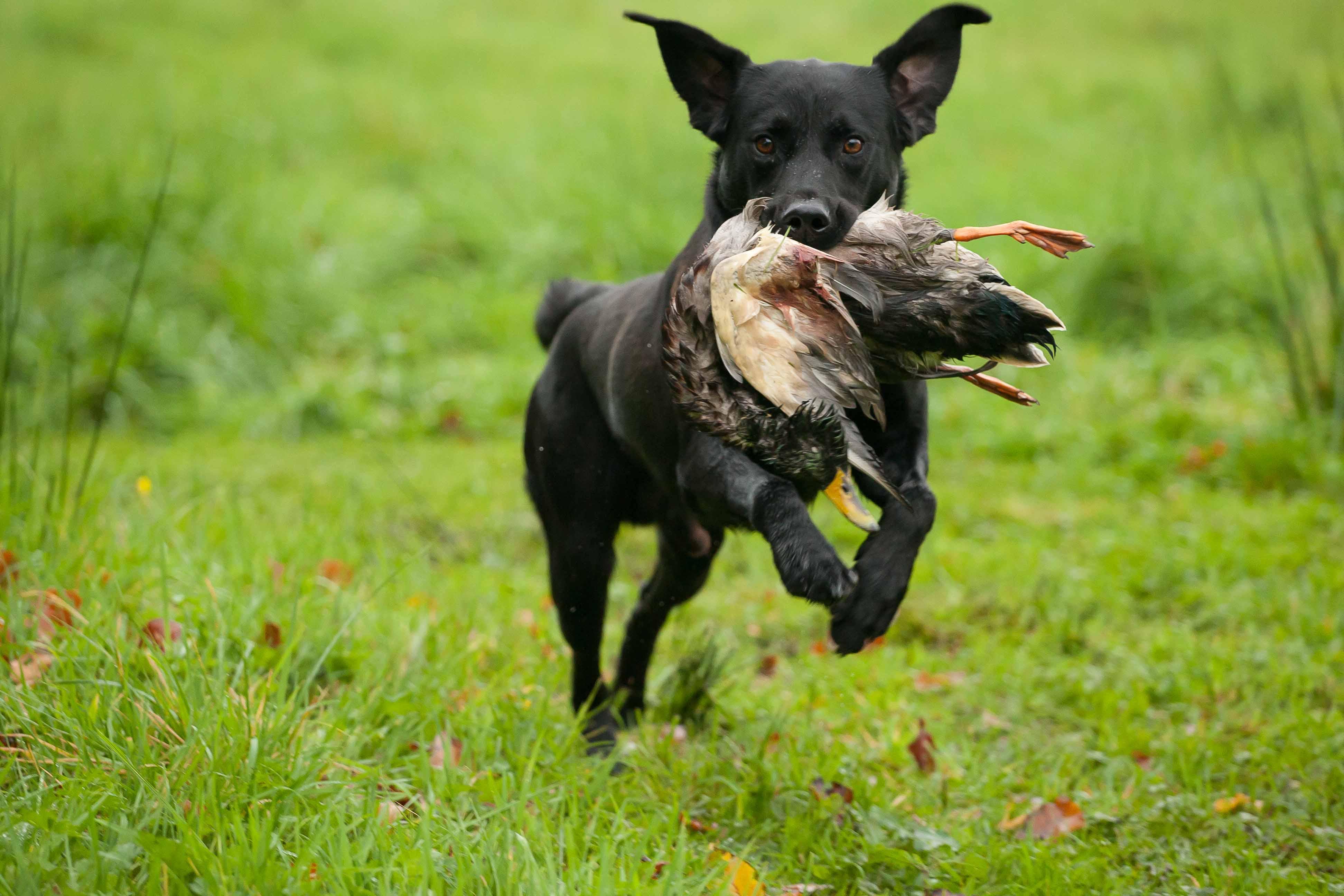 Black Labrador Gundog Black Labrador Came to me
