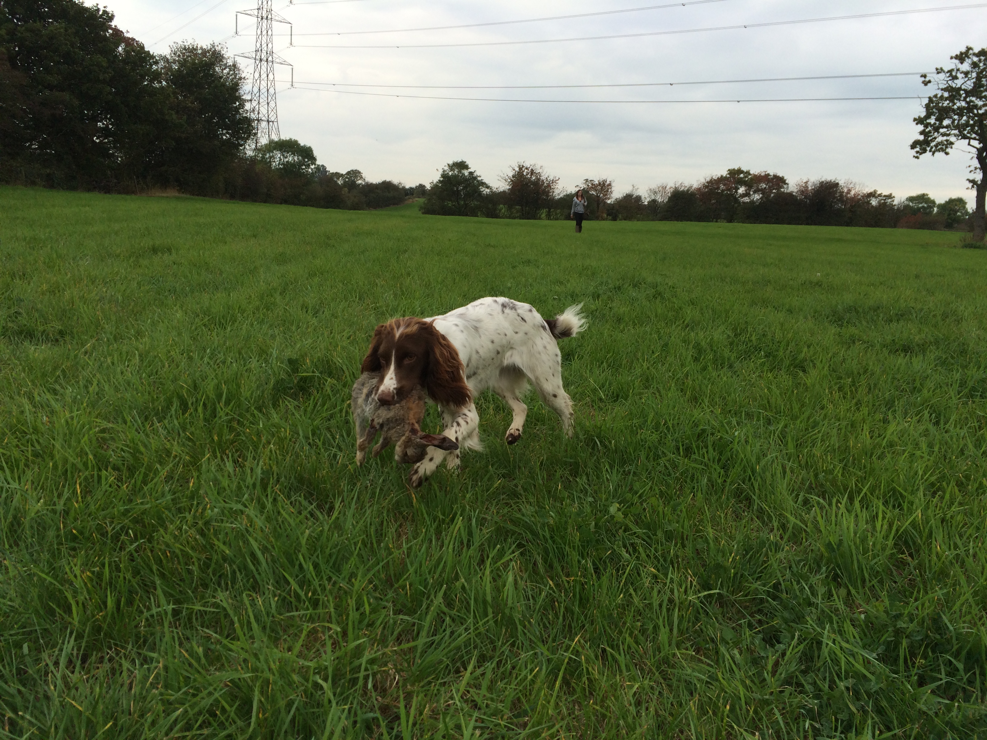 how to train a springer spaniel gundog