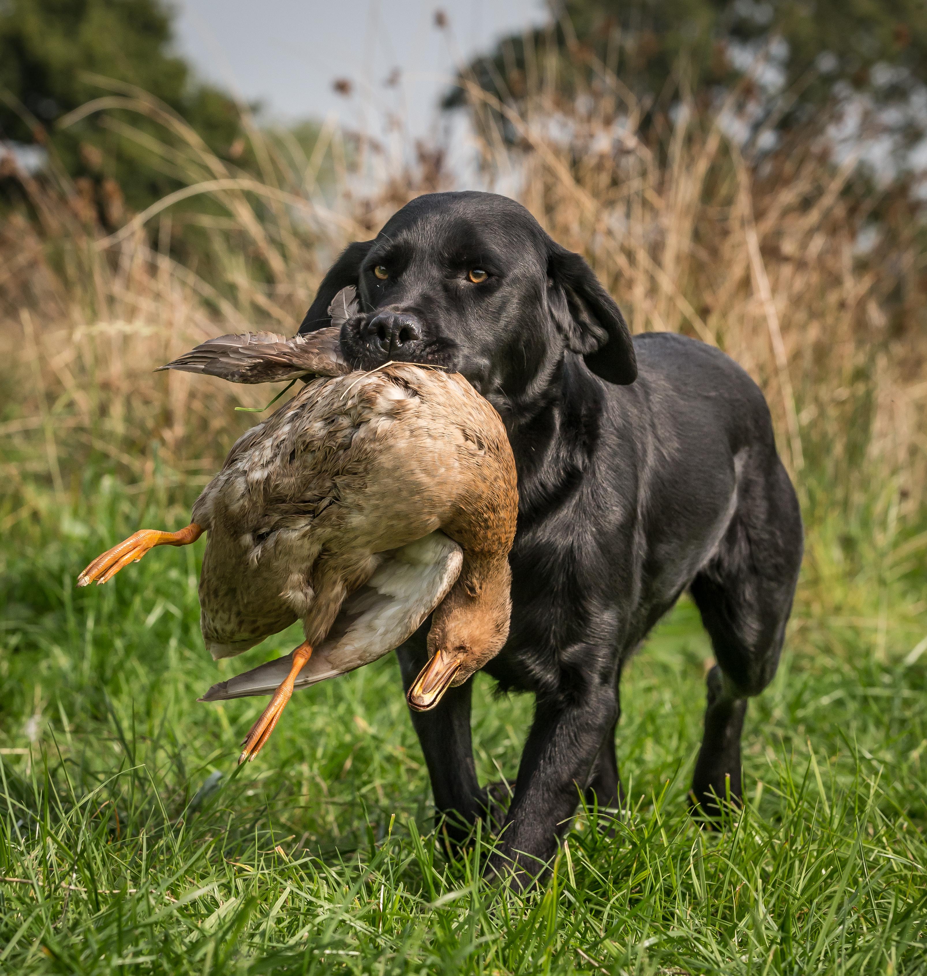 Gun Dog Labrador Training