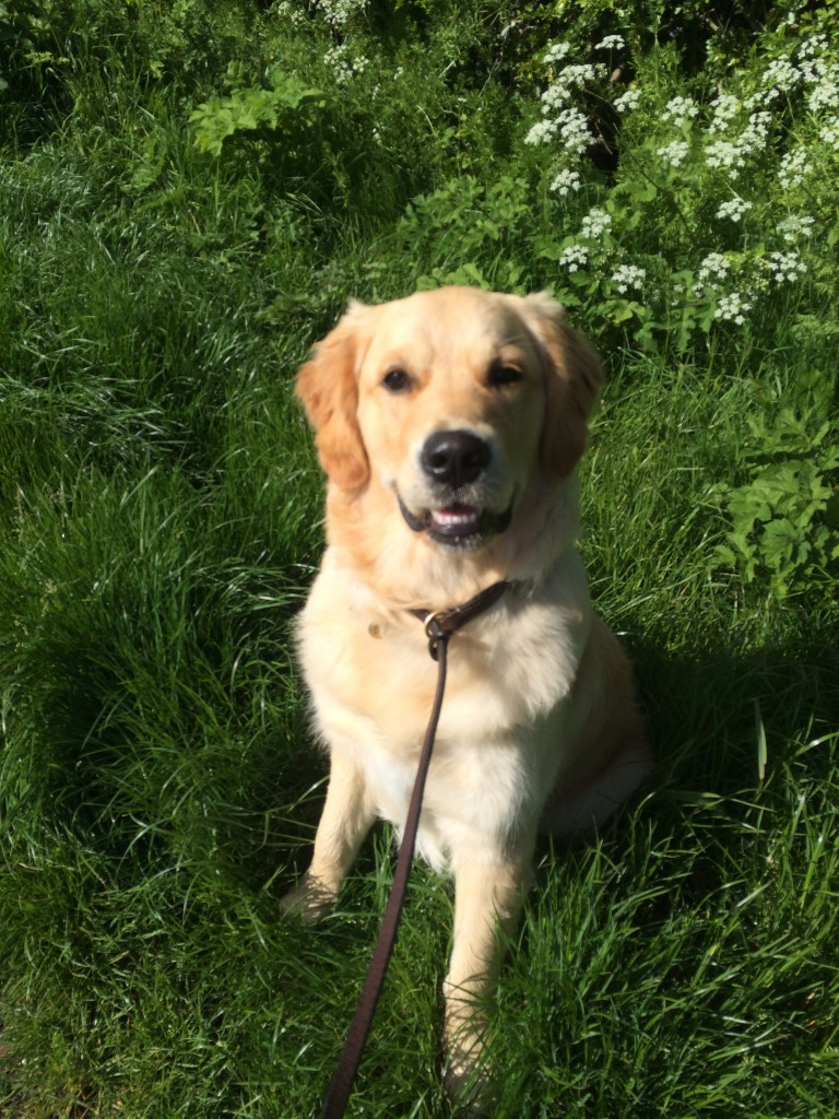 Residential Gundog And Dog Training With Flatcoat Retrievers And A