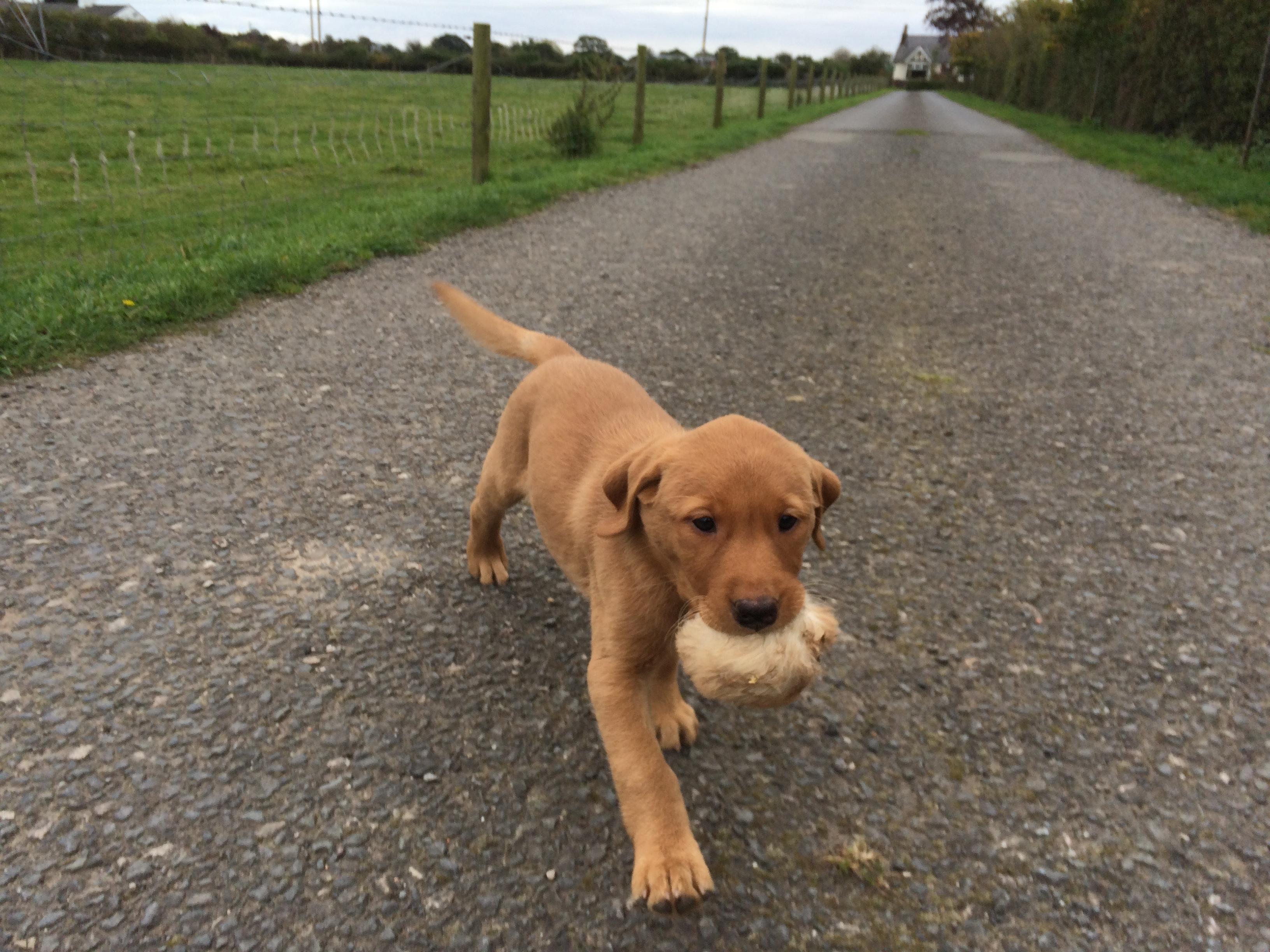 New Labrador Puppy Arrives Gundog Training Blogblog