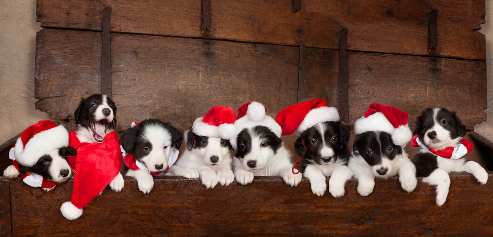 A Puppy For Christmas.Getting A Puppy This Christmas Top Tips For A Happy Start